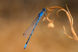 Apache Dancer Dragonfly