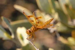 Female Mexican Amberwing Dragonfly