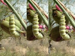 Queen caterpillar transforming to a chrysalis