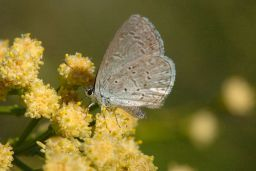 Spring Azure Complex Butterfly