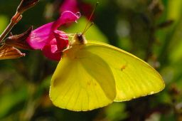 Clouded Sulfur Butterfly
