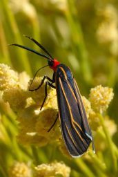Veined Ctenucha Moth