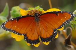 Queen Butterfly - Boyce Thompson Arboretum