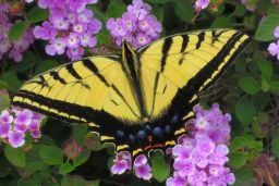 Swallowtail Gallery