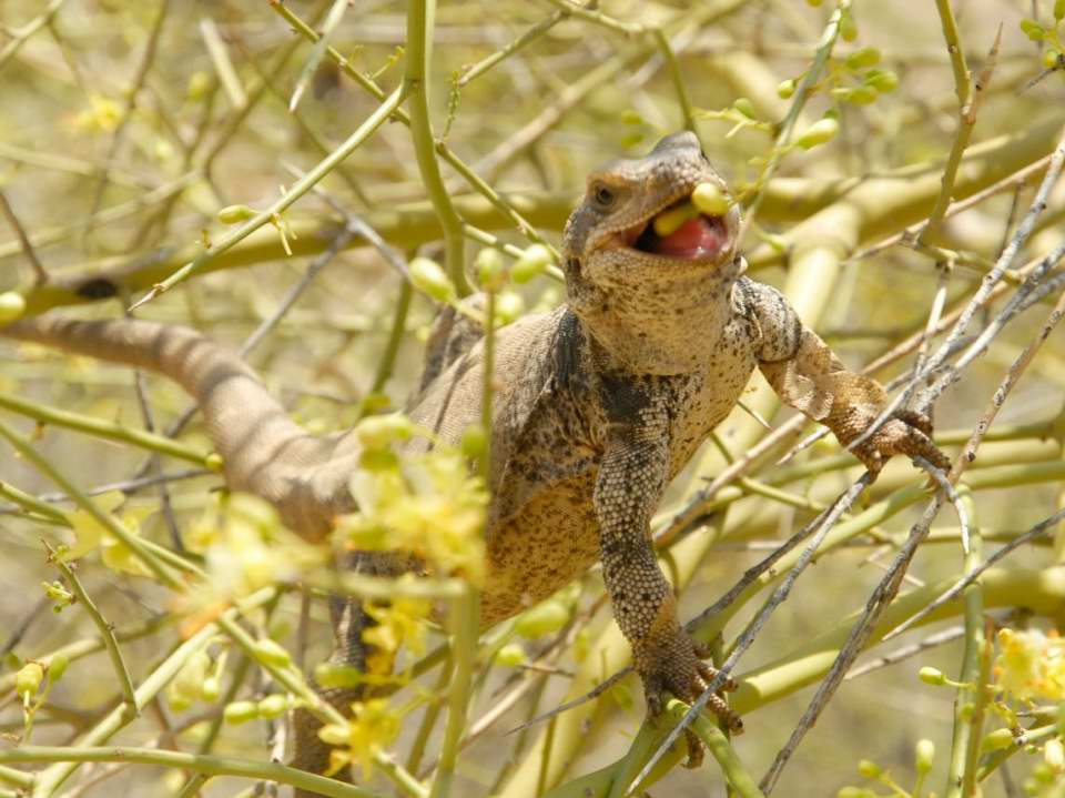 Chuckwalla in tree