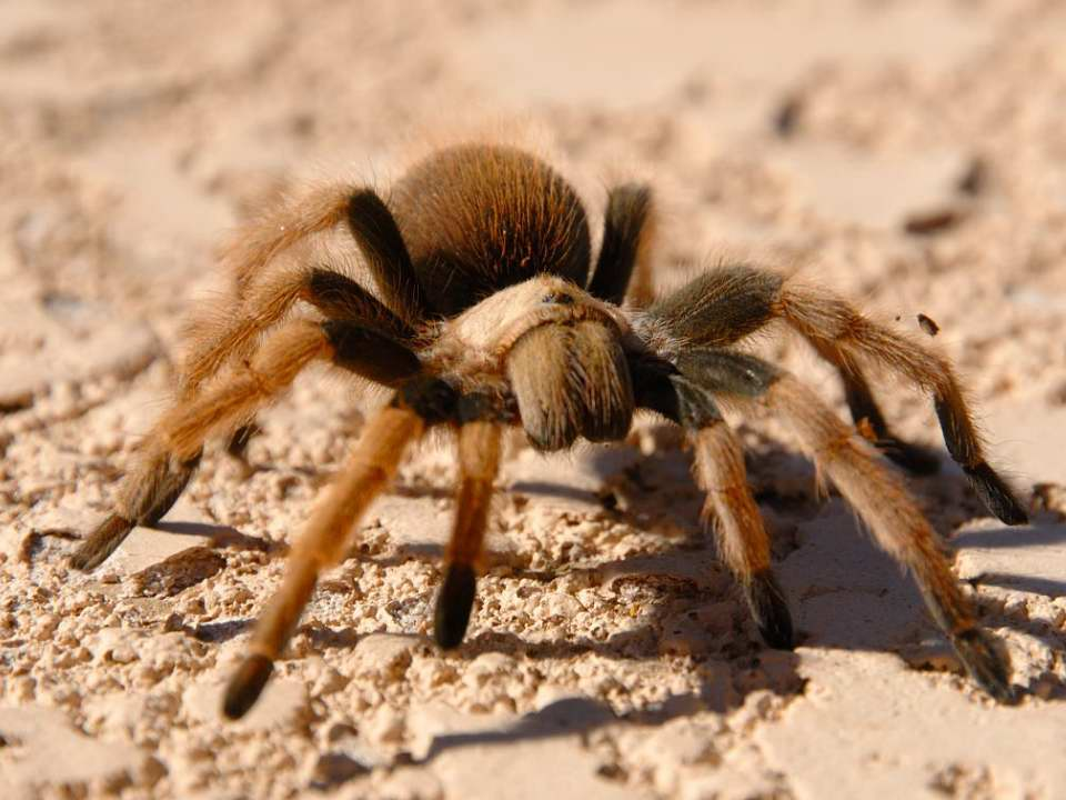 Tarantula - Arizona